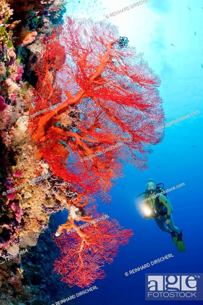Stock Photo: Diver and Sea Fan, Melithaea, Peleliu Wall, Micronesia, Palau.
