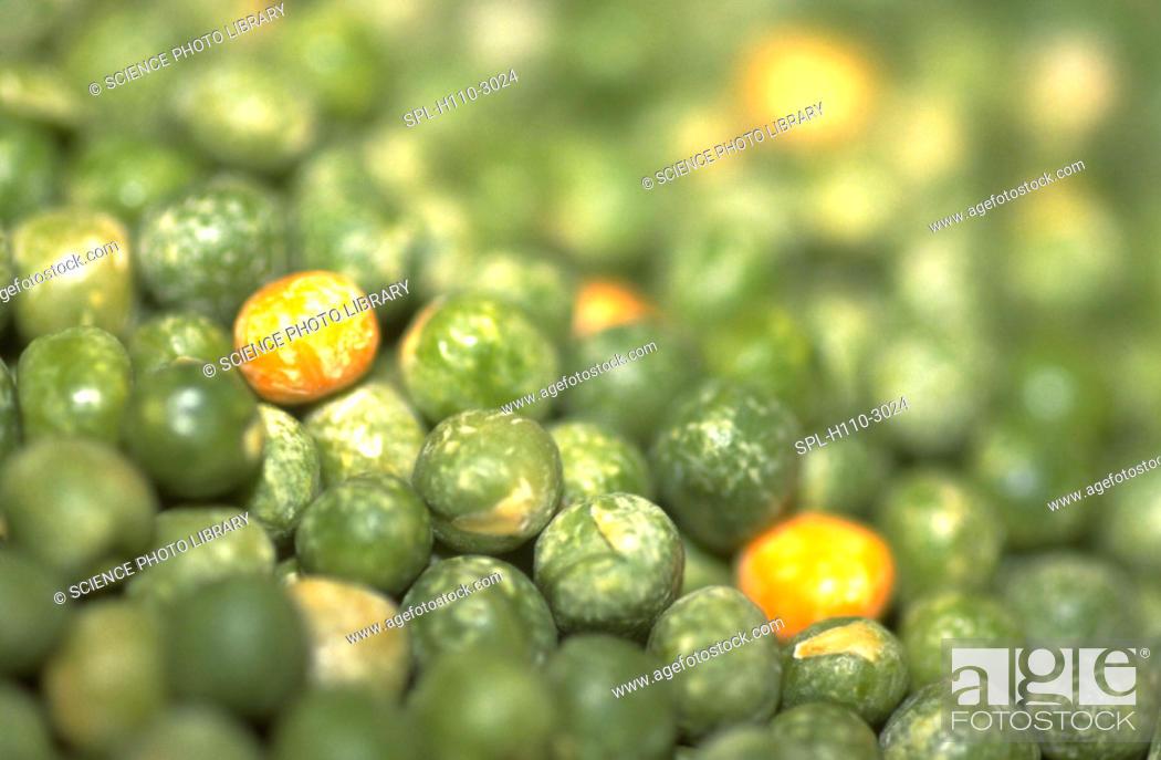 Stock Photo: Pisum sativum. Pile of dried peas.