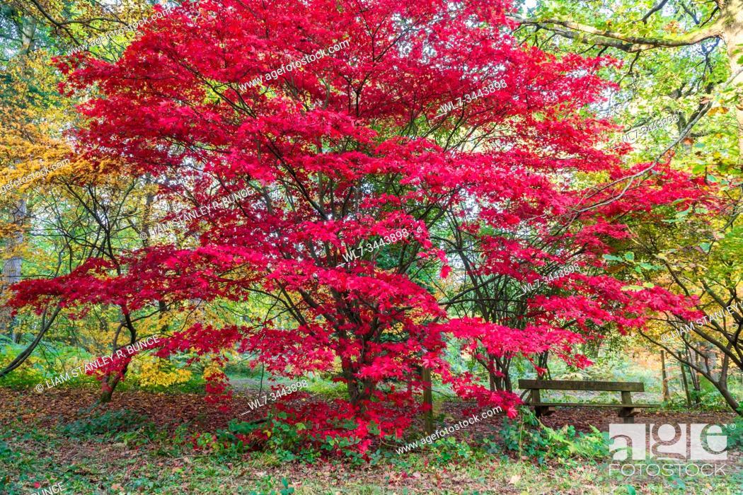 Stock Photo: Japanese Maple (Acer palmatum) Dinmore Herefordshire UK. October 2019.