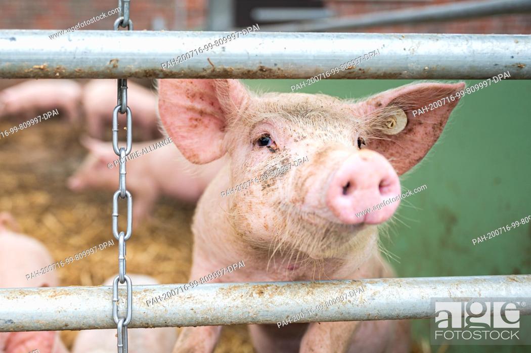 Stock Photo: 15 July 2020, Lower Saxony, Aurich: On an organic farm, a pig in a barn peeps through between two sticks. Photo: Mohssen Assanimoghaddam/dpa.