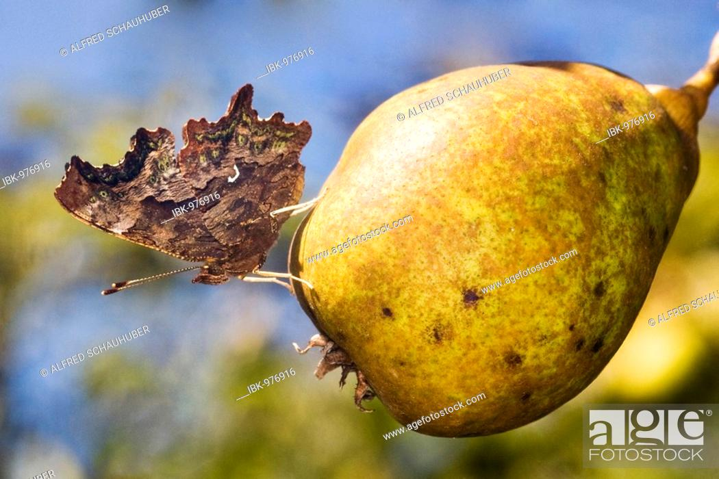 Stock Photo: Comma (Polygonia c-album) on a pear.