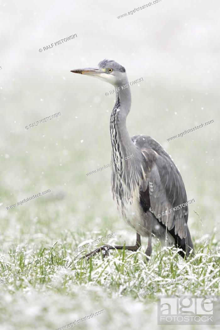 Stock Photo: Grey Heron / Graureiher ( Ardea cinerea ) walking, striding through a snow covered field of winter wheat, in heavy snowfall, looks funny, wildlife, Europe.