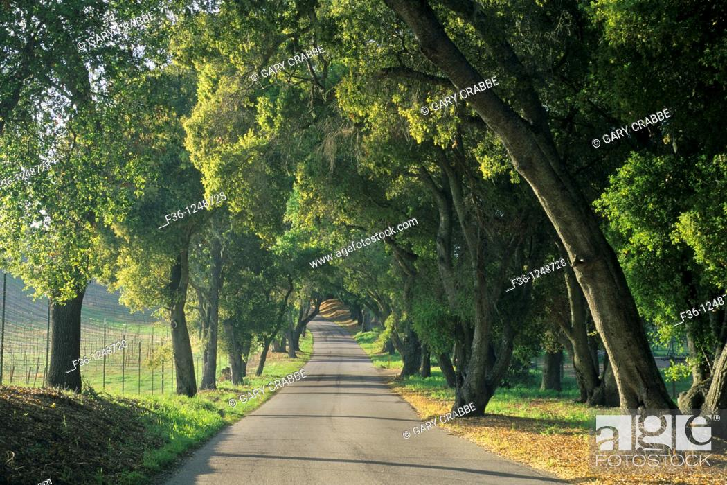 Stock Photo: Afternoon light along oak tree shaded rural road, Vineyard Drive, Paso Robles San Luis Obispo County, California.