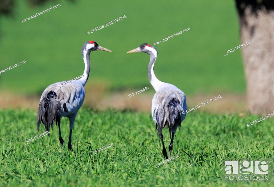 Stock Photo: Common cranes searching for acorns in a Dehesa. Extremadura, Spain.