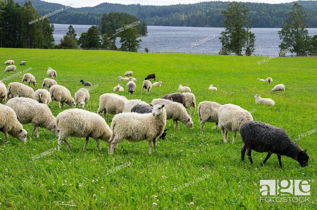 Stock Photo: Flock of sheep on a meadow at some lake in Dalsland, Sweden.
