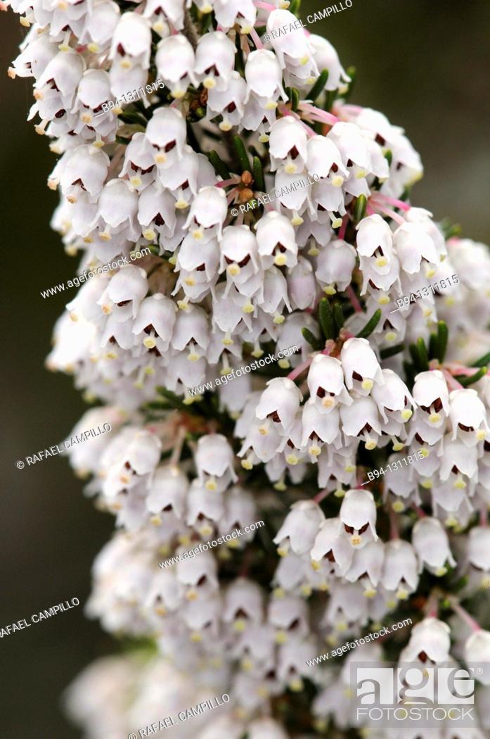 Stock Photo: Tree heat flowers. Erica arborea. Family Ericaceae. Torrelles de Llobregat. Barcelona. Catalonia. Spain.