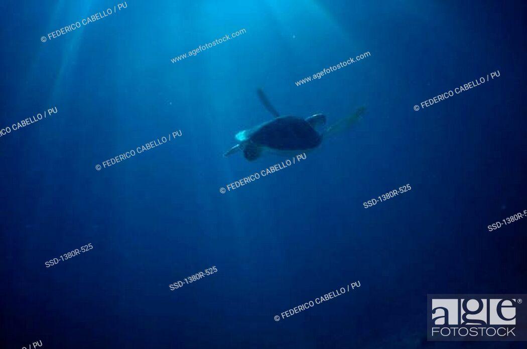 Imagen: Turtle swimming in the sea.