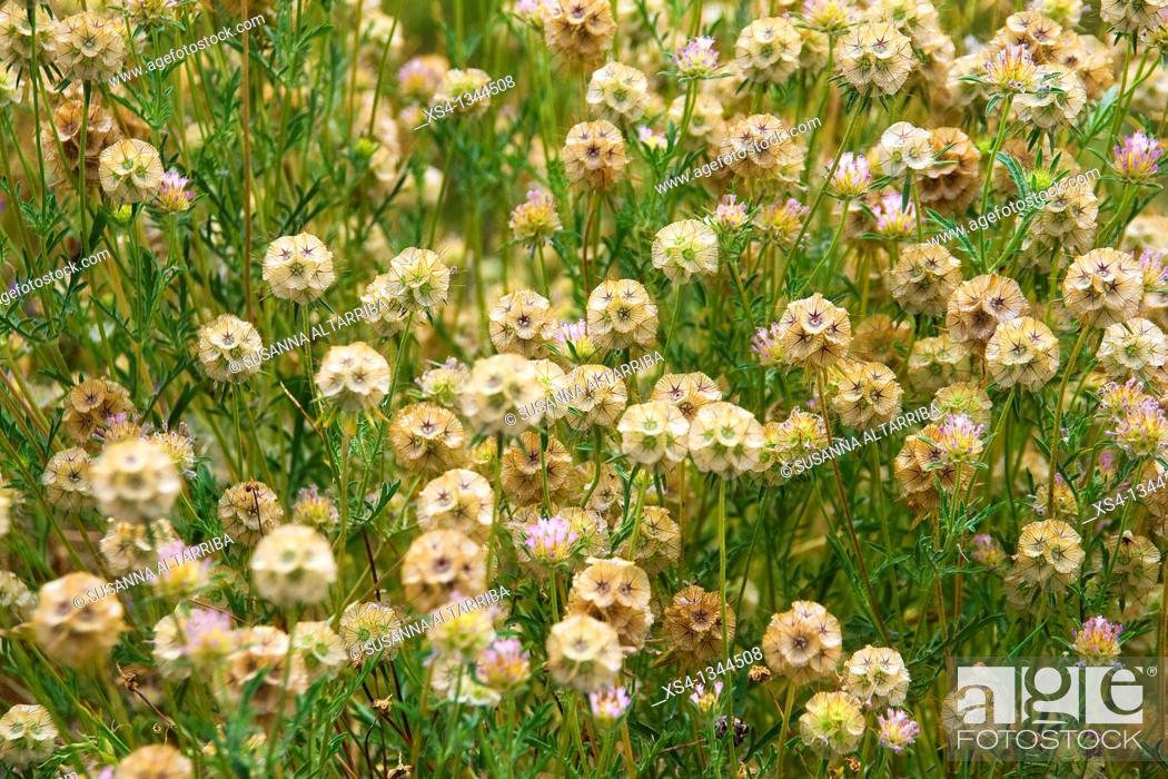 Stock Photo: Scabiosa stellata, Starflower pincushions. Photo taken in Solsonès, Lleida, Spain, Europe.