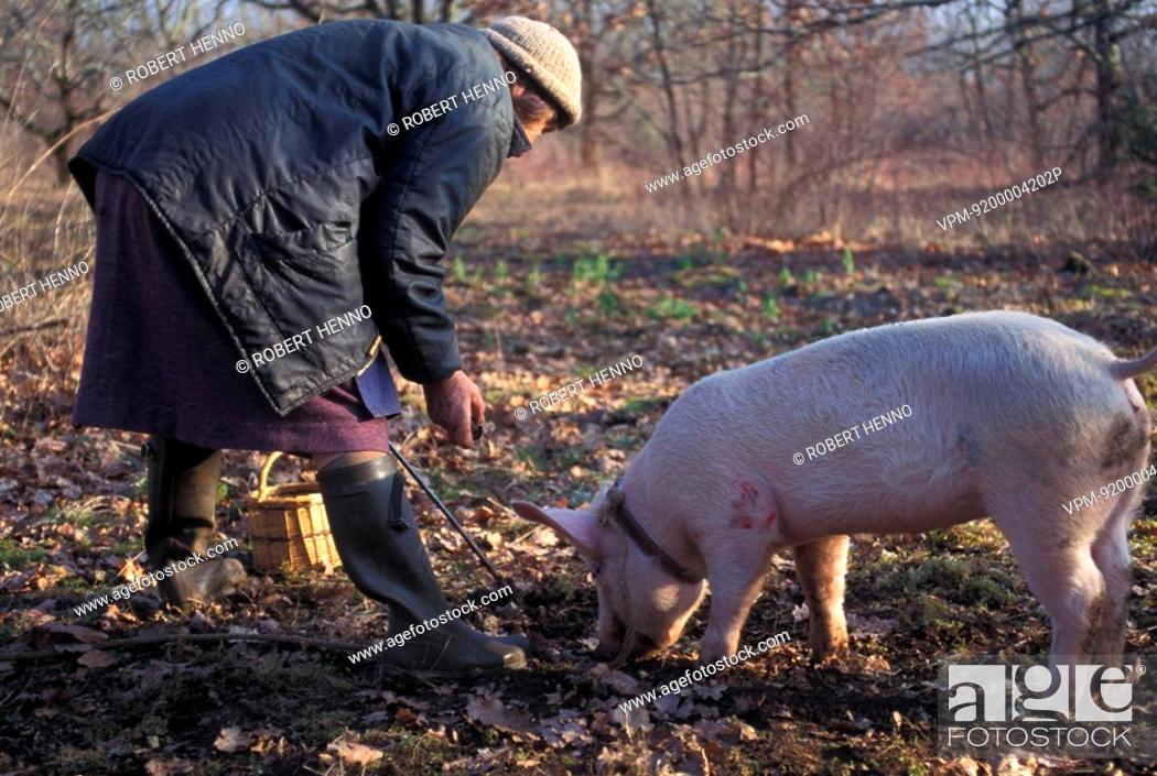 Stock Photo: SUS SCROFA DOMESTICAPIGFRANCE - PERIGORDMARTHE AND PIG TITINE SEARCHING FOR TRUFFLES.