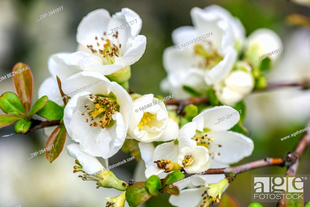 Stock Photo: Chaenomeles speciosa 'Nivalis', white spring flowers of the Japanese quince.
