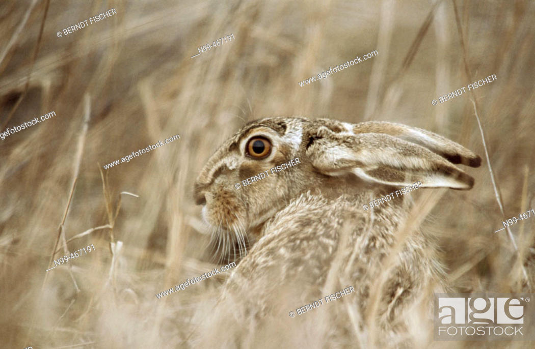 Stock Photo: Hare (Lepus capensis europaeus) sitting in dry grass. Spring. National Park of the Lake of Neusiedel. Austria.