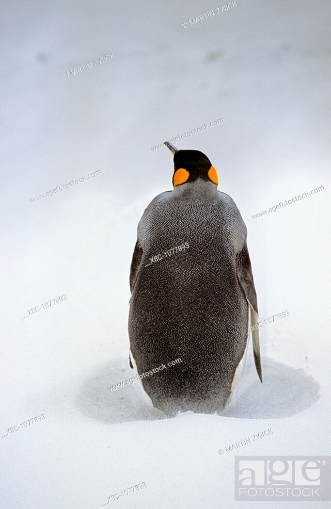 Stock Photo: King Penguin Aptenodytes patagonica is resting on stormy weather with sandstorm at the beach at Volunteer Point on the Falkland Islands after returning from.