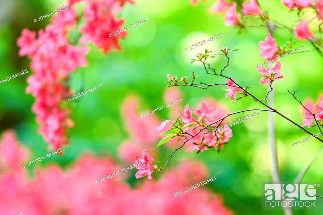 Stock Photo: Pink flowers.