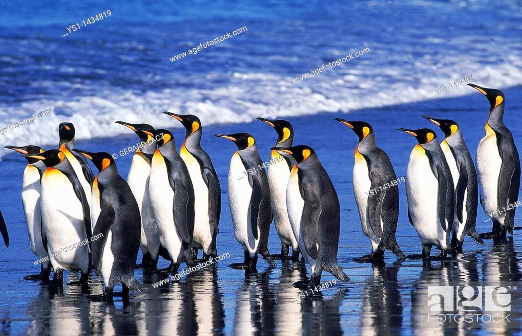 Stock Photo: KING PENGUIN aptenodytes patagonica, GROUP WALKING ON BEACH, SALISBURY PLAIN IN SOUTH GEORGIA.