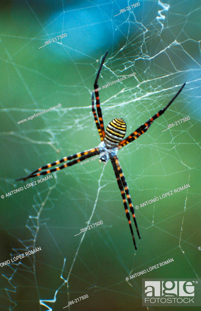Stock Photo: Argiope sp.