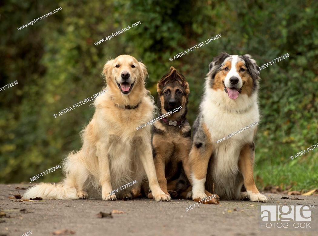 Dog Golden Retriever German Shepherd Puppy And Australian Shepherd