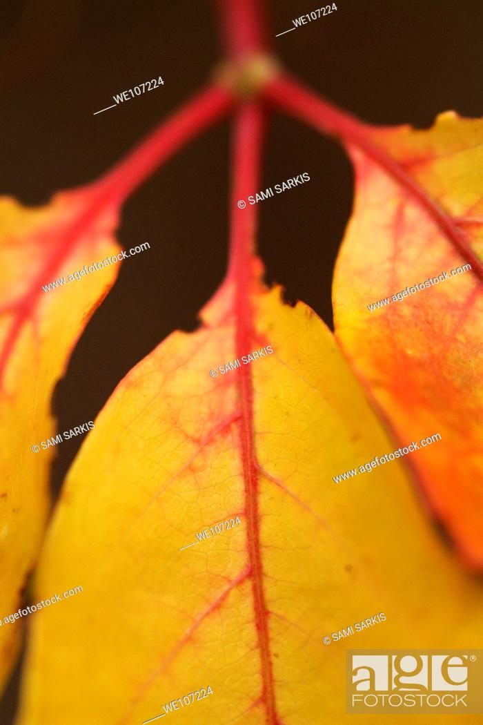 Stock Photo: Ivy leaves during Autumn.