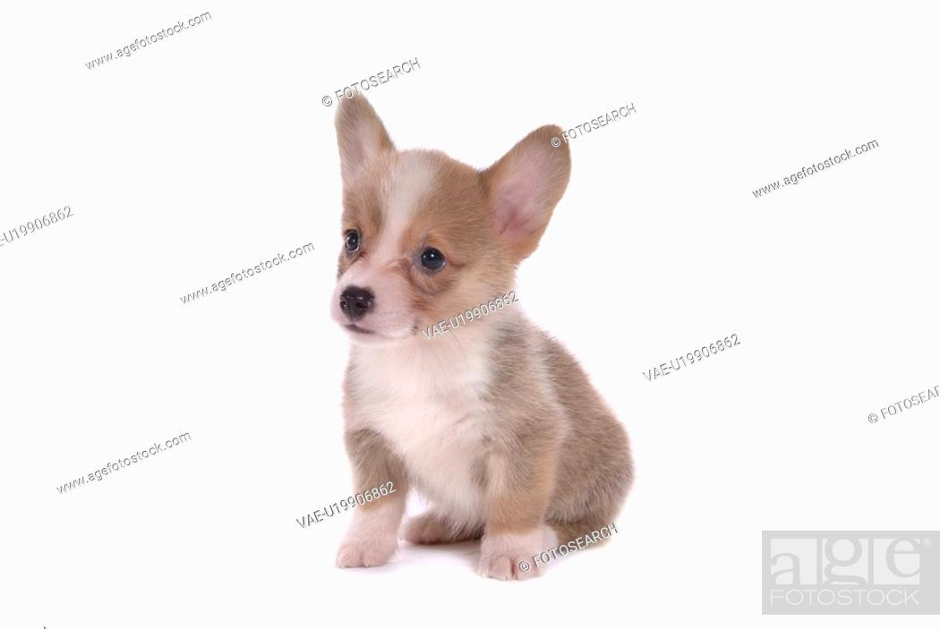 Stock Photo: canines, animal, domestic, corgi, dog, puppy, pet.