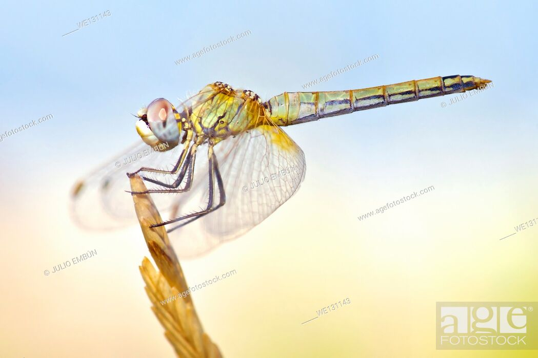Stock Photo: Dragonfly with big eyes balanced on the tip of a branch in the summer sun.