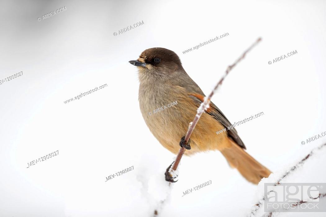 Stock Photo: Siberian Jay - Winter - Finland.