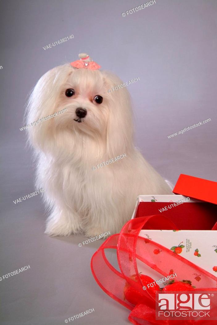 Stock Photo: posed, domestic, pose, house pet, canines, maltese.