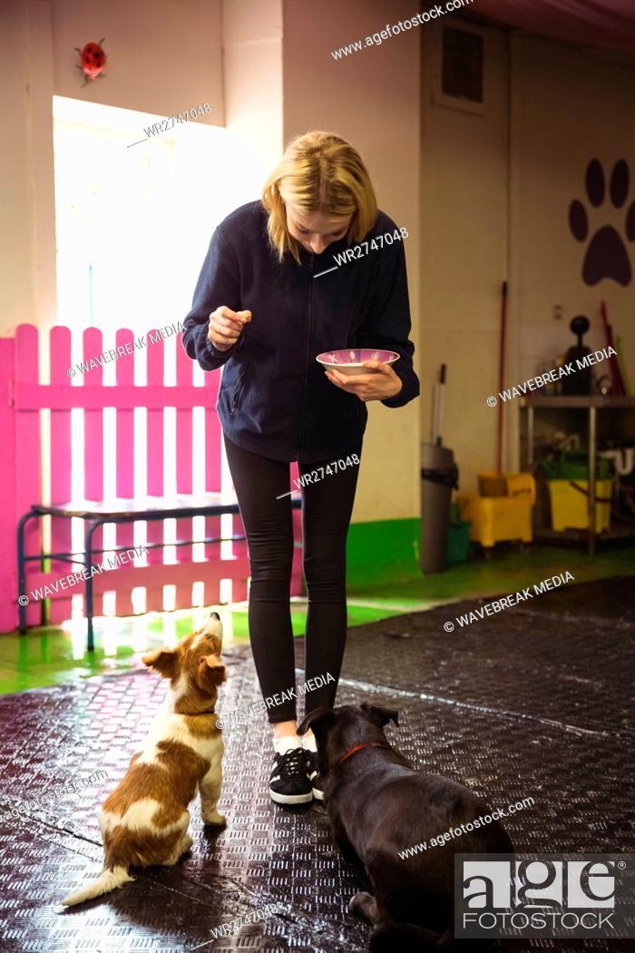 Stock Photo: Woman feeding black beagle and rat terrier dog.