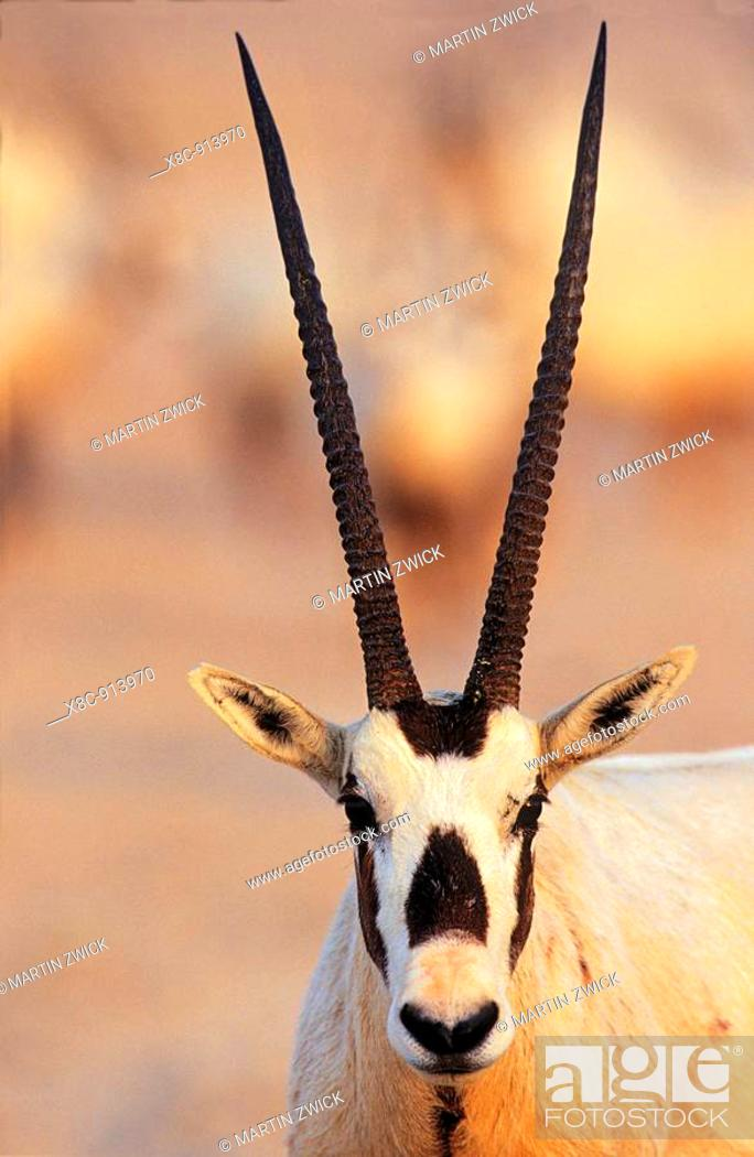 Stock Photo: Arabian Oryx Oryx leucoryx on Sir Bani Yas Island, United Arab Emirates, April 2001.