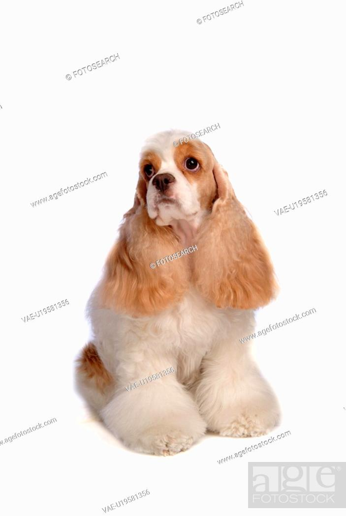 Stock Photo: canines, animal, domestic, cocker spaniel, dog, loving, pet.