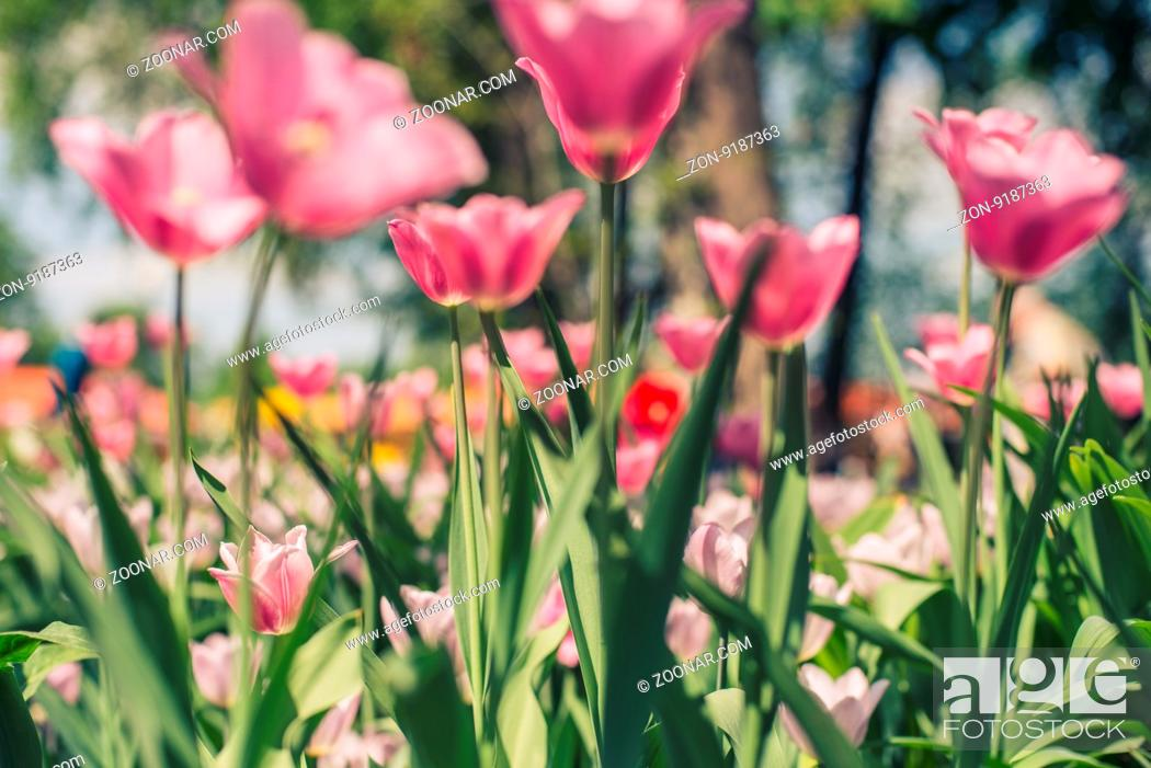 Stock Photo: Group of red tulips in the park agains clouds. Spring blurred background.