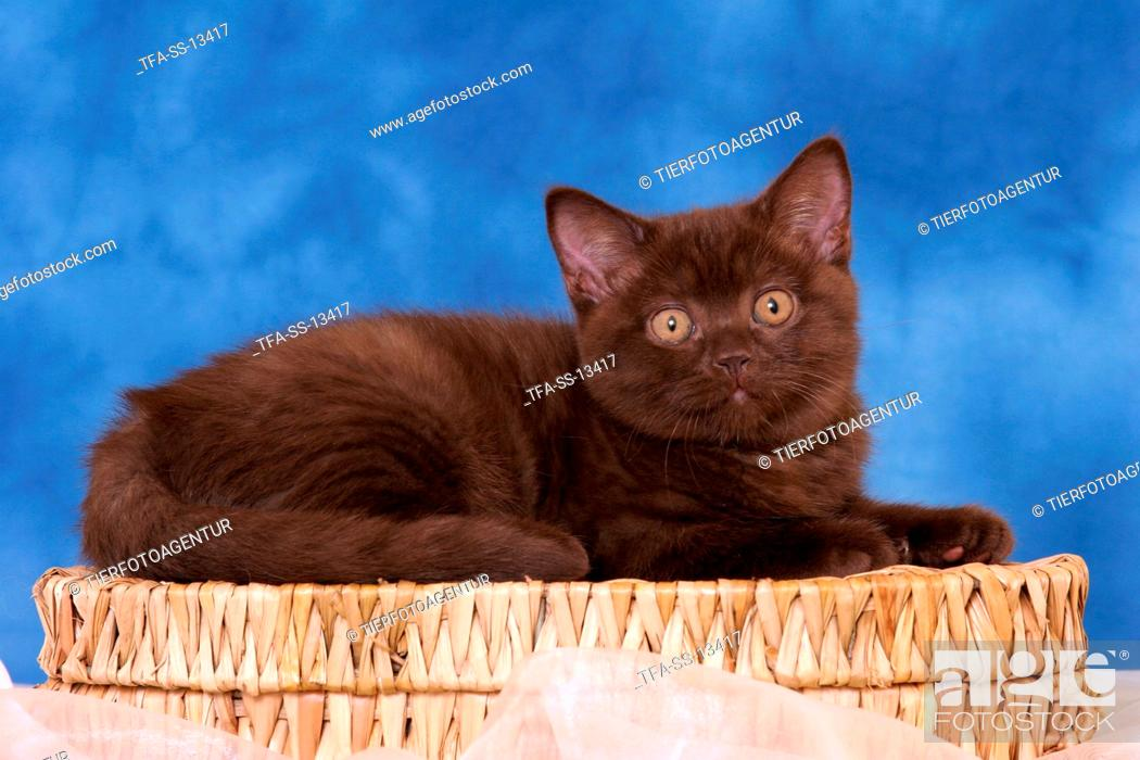 Stock Photo: chocolate British Shorthair kitten.