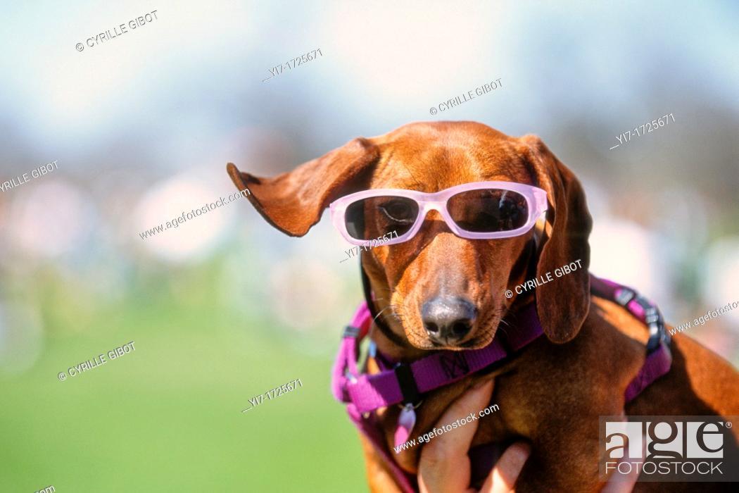 Stock Photo: Dog wearing pink sunglasses, Austin, Texas.