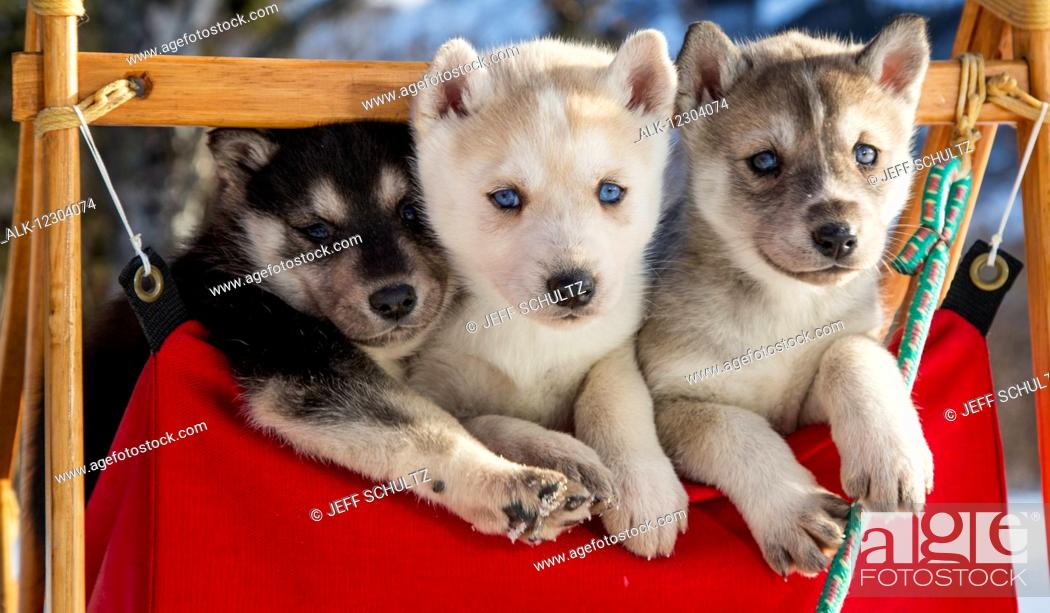 Close Up Of Siberian Husky Puppies In A