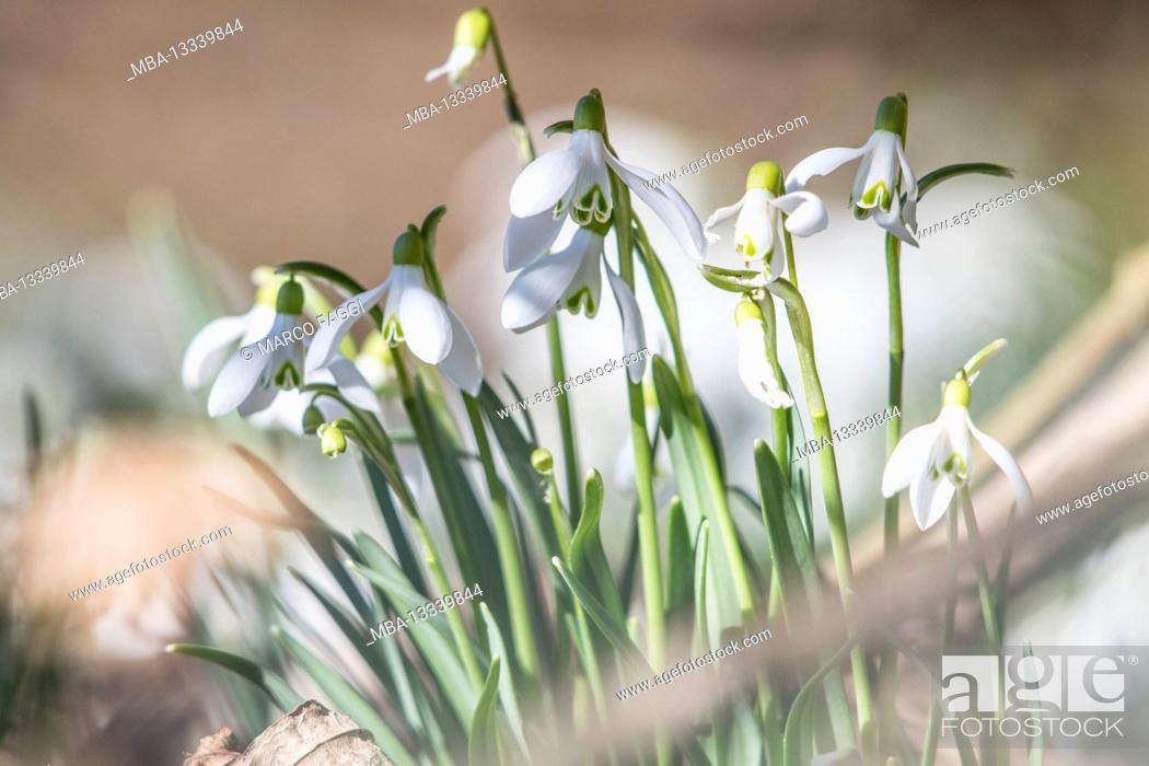 Stock Photo: Snowdrops on the edge of the forest.