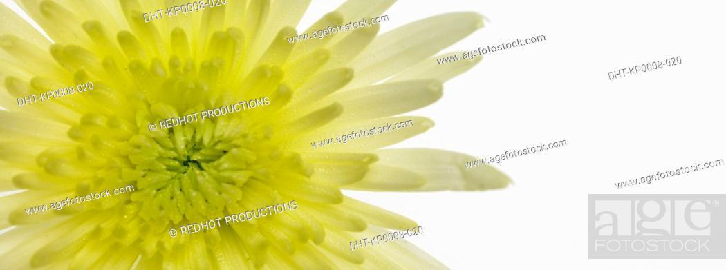 Stock Photo: One Chrysanthinum.
