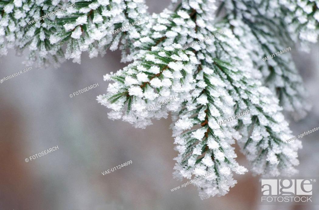 Stock Photo: fir, branch, eiskristalle, cold, calf, freezes, austria.