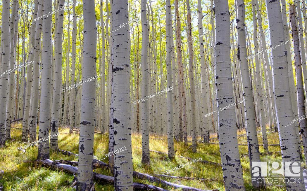 Stock Photo: Aspens Coconino national Forest at fall season, Arizona, USA.