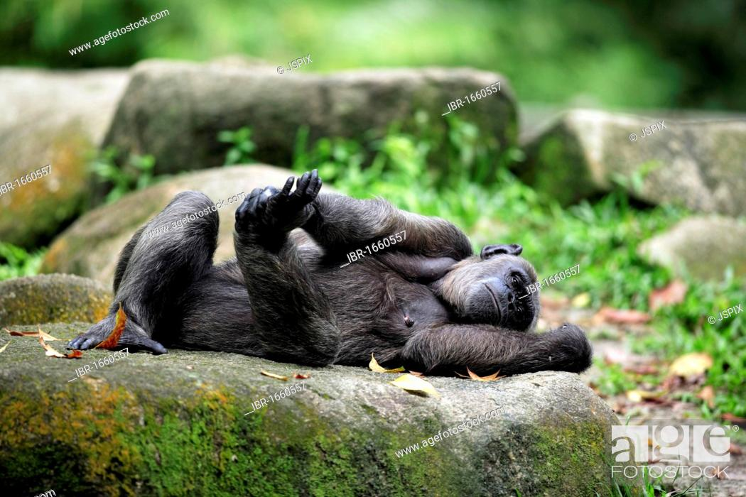 Stock Photo: Central African Chimpanzee (Pan troglodytes troglodytes), adult female lying, Africa.