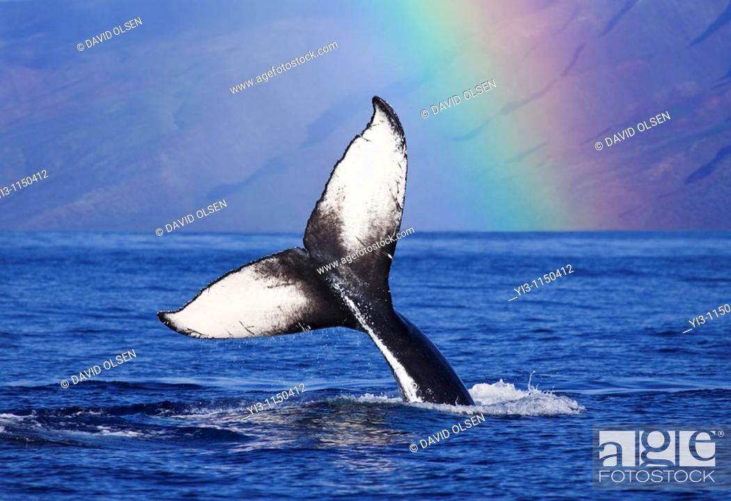 Stock Photo: Humpback whale tail with rainbow in the background, Maui, Hawaii, USA.