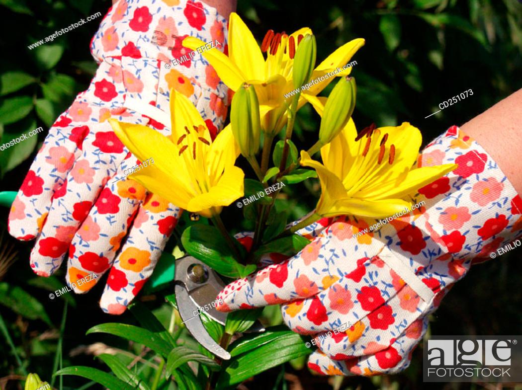Stock Photo: Cutting Lilies (Lilium hybr.).