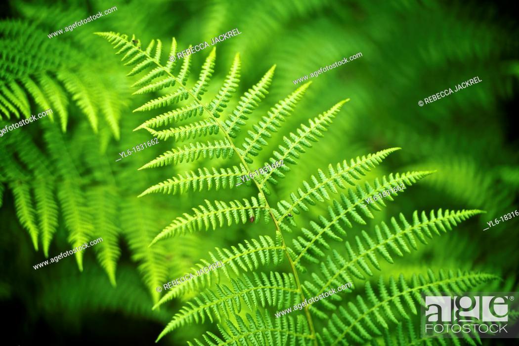 Stock Photo: Fern frond in Alaska.