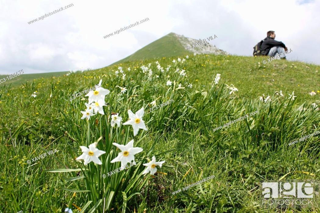 Stock Photo: Narcissus and man in Charmant Som, Chartreuse, Isère, Rhône-Alpes, France.