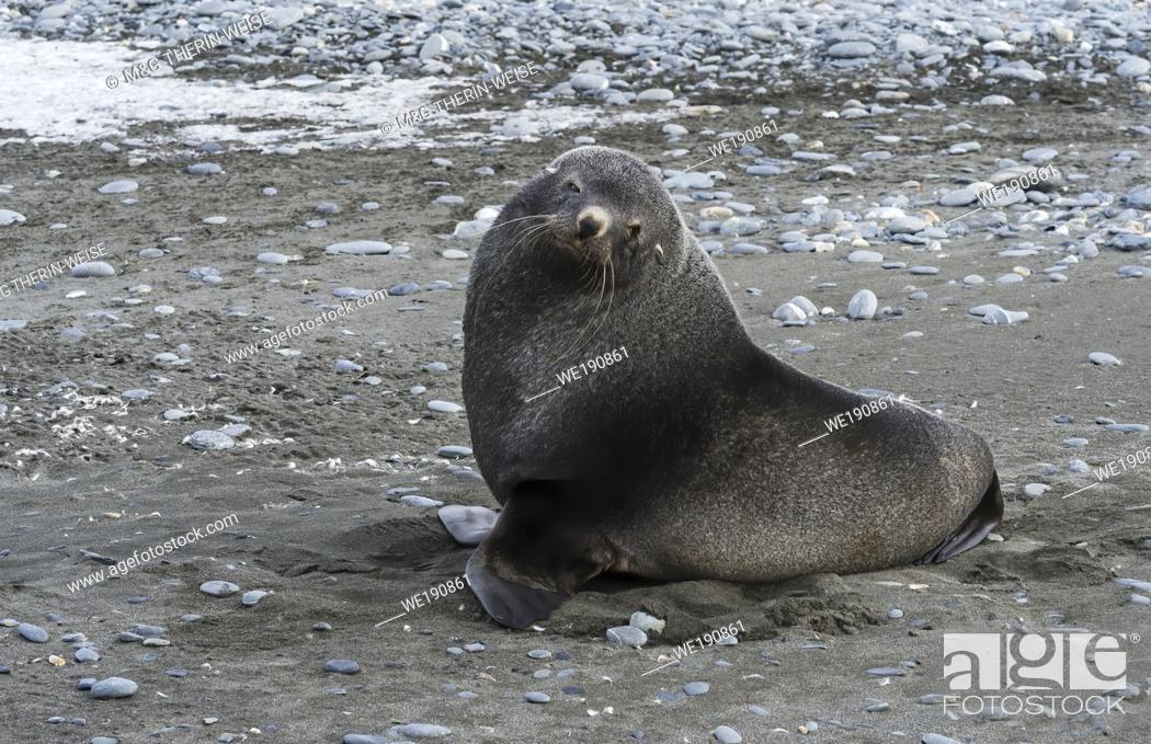 Imagen: Antarctic Fur Seal (Arctocephalus gazella) on a graveled beach, Salisbury Plain, South Georgia Island, Antarctic.