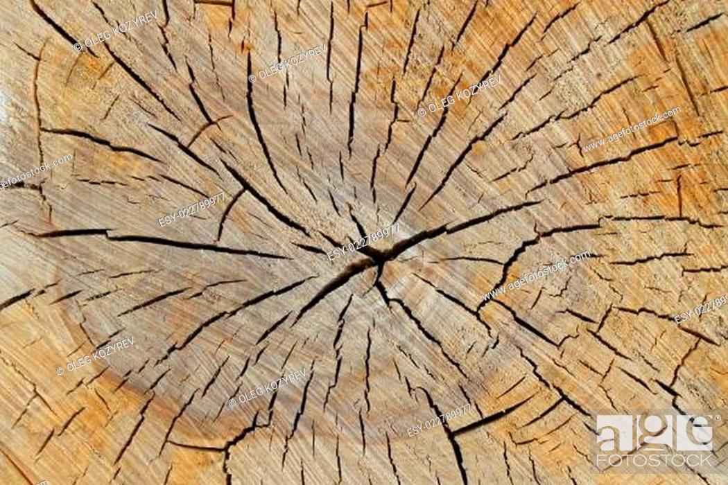 Stock Photo: Wood texture of cutted tree trunk.