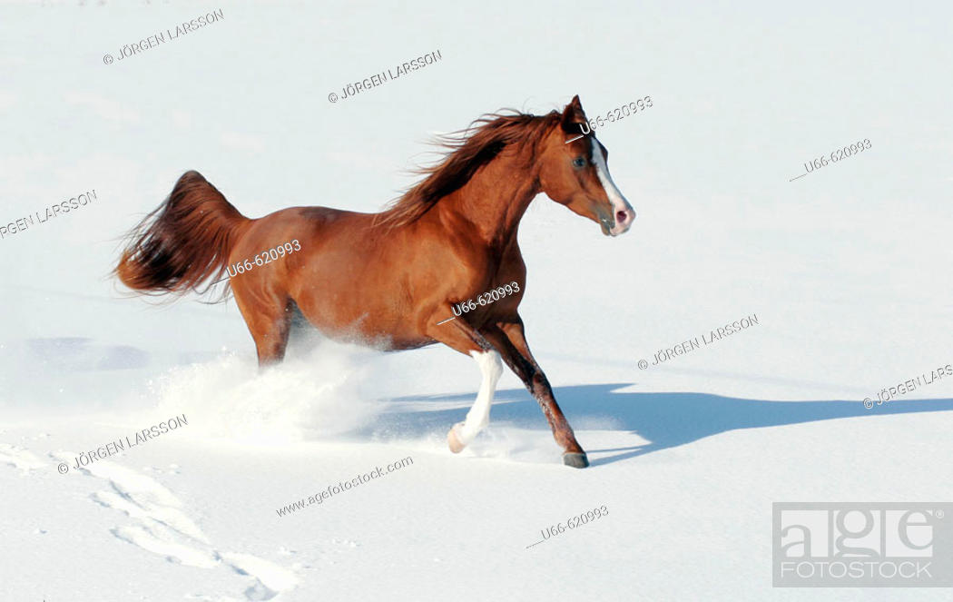 Stock Photo: Arab pony running in snow.
