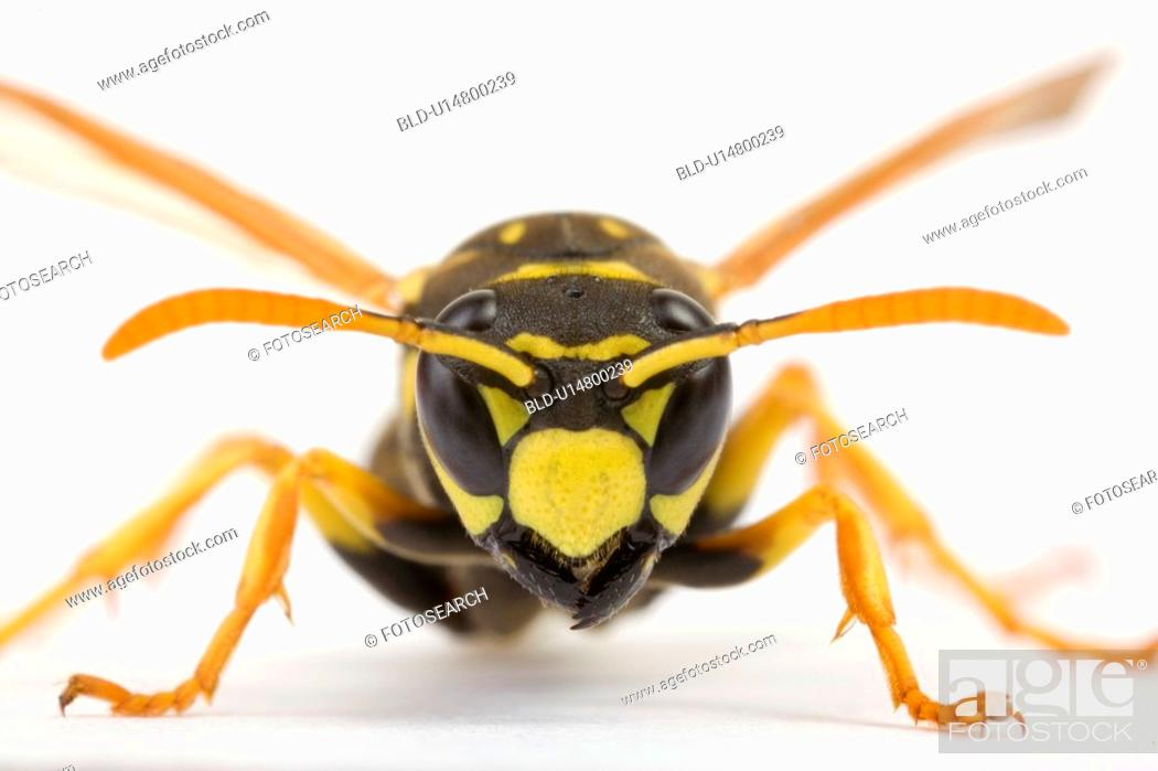 Stock Photo: wasp, close-up, schauhuber, insect, indoor photo, alfred.