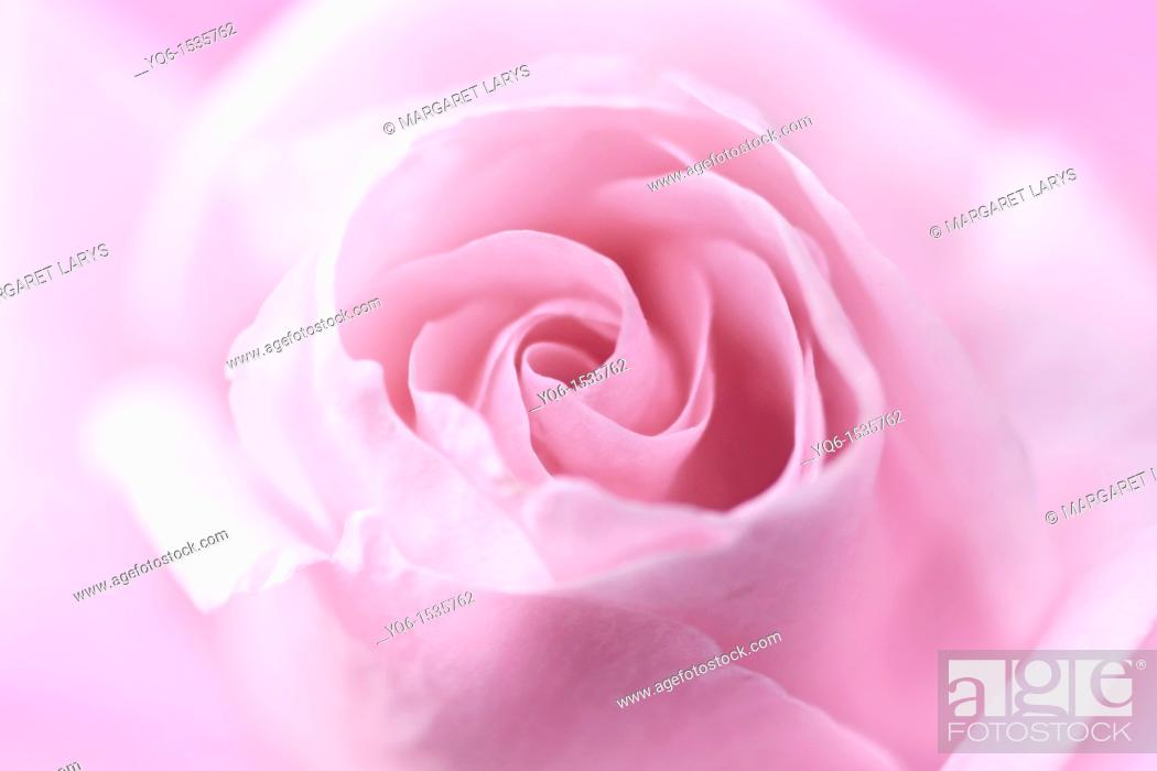 Stock Photo: Beautiful, soft pink rose close up.