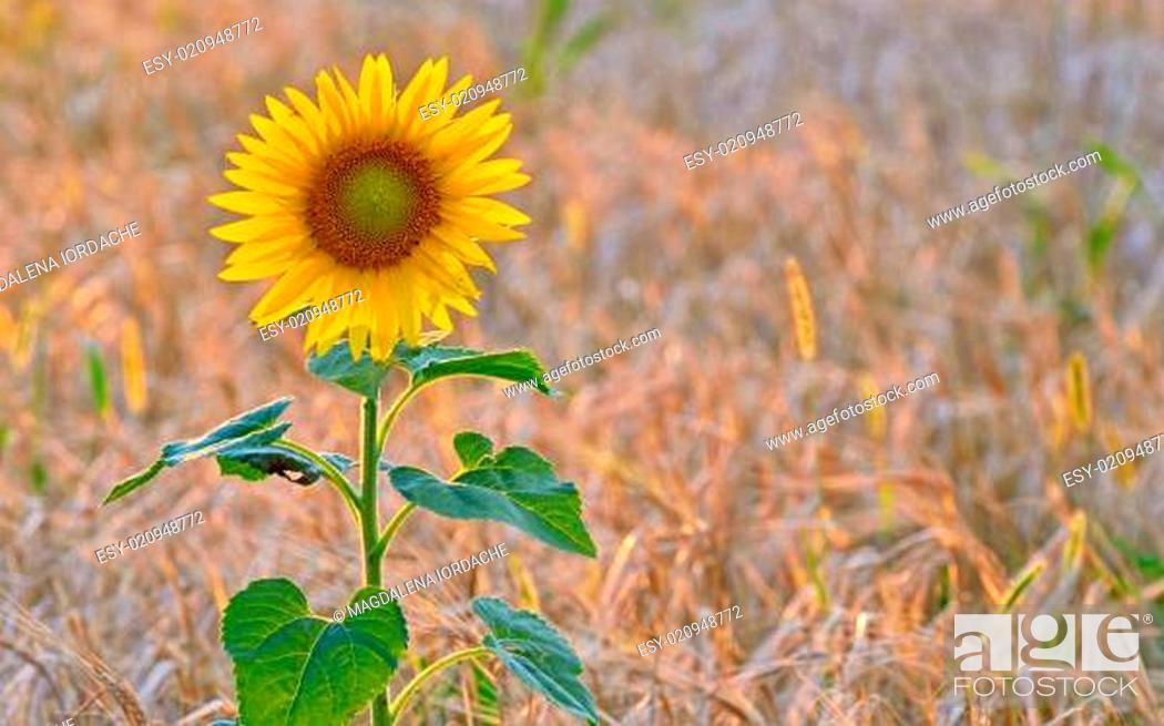 Stock Photo: isolated sunflowe.