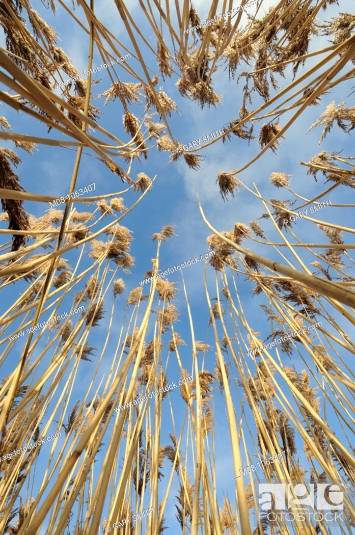 Stock Photo: Norfolk reed, phragmites, showing seed heads against blue sky, Norfolk, Uk, December.