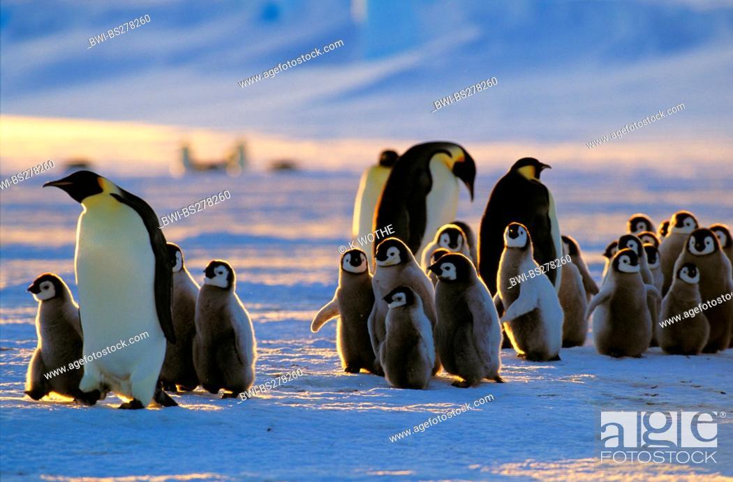 Stock Photo: Emperor penguin Aptenodytes forsteri, with chicks, Antarctica.
