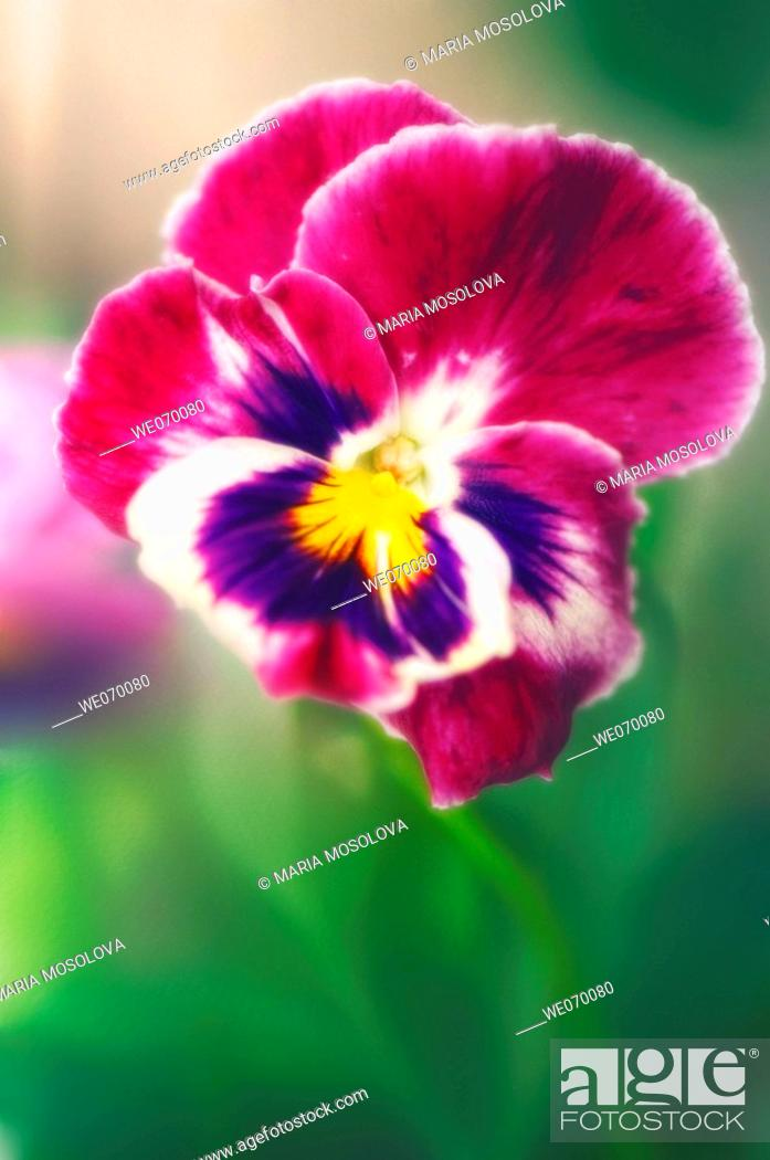 Stock Photo: Pansy Flower. Viola x wittrockiana. June 2006, Maryland, USA.